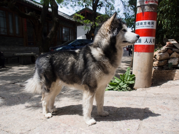 One Thing I Noticed About Lijiang Is The Number Of Dogs There Are